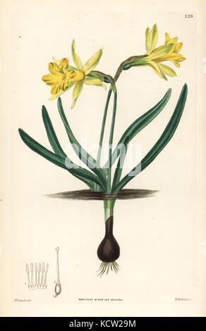 Wild daffodil, Narcissus pseudonarcissus subsp. minor (Small six-lobed Ajax narcissus, Narcissus minor var. pumilus). - Stock Photo