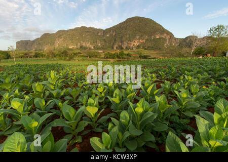 Ripe tobacco plants,  Vinales, Cuba - Stock Photo