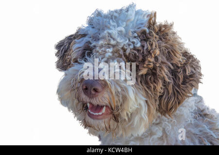 The Lagotto Romagnolo is a breed of dog that comes from the Romagna sub-region of Italy. - Stock Photo