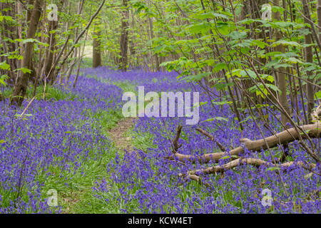 Blue bells in woodland Rudgwick UK carpet of colour on woodland floors. Bulbous perennial  narrow green basal leaves - Stock Photo