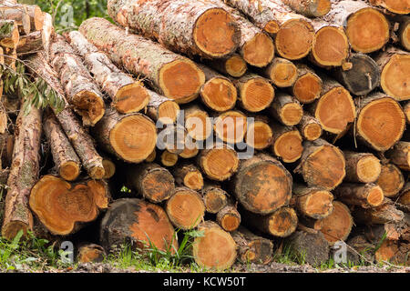 Pile of felled trees in woodland clearing at a nature park in Northan Ireland. Several rows of timber in stacks of mixed sizes along the pathways.