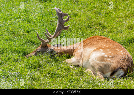 Fallow deer lying down on grass at British wildlife centre in Lingfield Surrey UK. Showing blade type antlers and - Stock Photo
