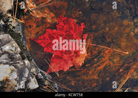 Red maple leaf (Acer rubrum) at Hatchery Falls in autumn, Near Rosseau, Ontario, Canada - Stock Photo
