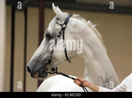 Arabian horse, gray, portrait, wearing a show halter - Stock Photo