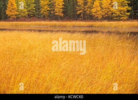 Marsh and larches, Near Raith, Ontario, Canada - Stock Photo