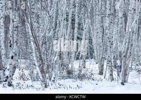 Birch grove in winter, Kivi Park, Sudbury, Ontario, Canada - Stock Photo