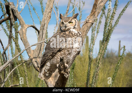 Great Horned Owl (Bubo virginianus), perched on dead tree branch at the Arizona Sonoran Desert Museum, Tucson, AZ - Stock Photo