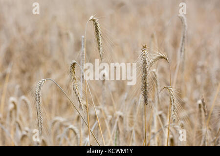 Some ears of Wheat in focus in front of a large field of Wheat lit by the sun. - Stock Photo