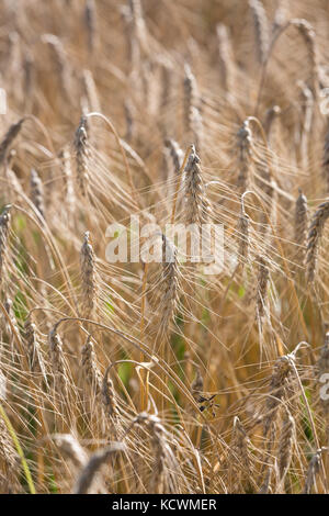 Detail of a wheat field, showing the ears of the Wheat that are ready to be harvested. - Stock Photo