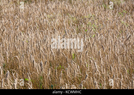 Detail of a large field of full grown wheat plants - Triticum aestivum - in the late summer in the Limousin, France. - Stock Photo