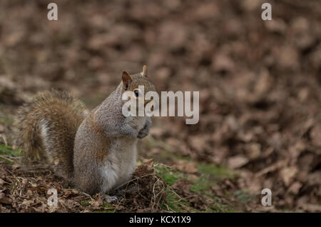 Grey Squirrel (Sciurus carolinensis) in woodland and forest in England, Uk - Stock Photo