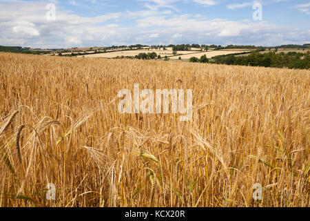 Ripe Barley in field, Guiting Power, Cotswolds, Gloucestershire, England, United Kingdom, Europe - Stock Photo
