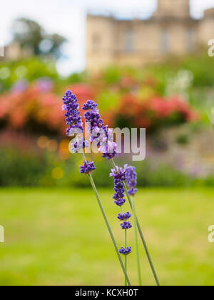 Closeup view of beautiful lavender flowers in the garden against the blurred background. - Stock Photo