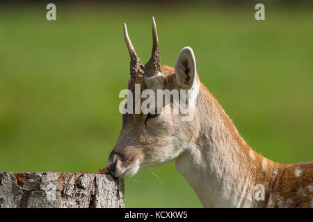 Detailed head & neck close up of young fallow deer buck (Dama dama UK) with tiny antlers, sniffing at wild fungus - Stock Photo