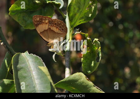 Australian Lurcher Butterfly (Yoma sabina) on a lime tree, Townsville, QLD Australia - Stock Photo