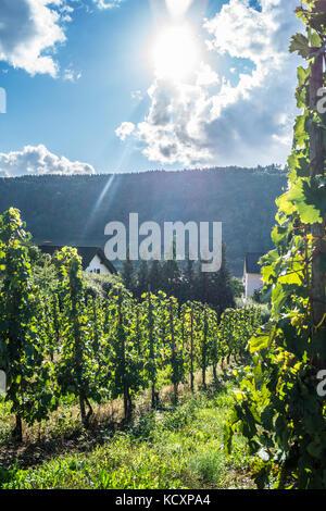 Batterieberg vineyard, Enkirch, Mosel valley, Rheinland-Pfalz, Germany - Stock Photo