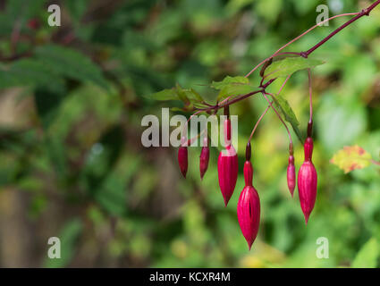 Red Fuchsia flower hanging in the park - Stock Photo
