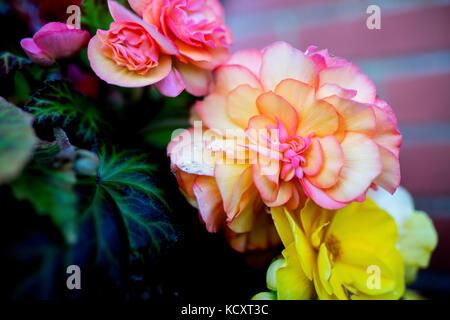 Bright flowers of tuberous begonias (Begonia tuberhybrida) close up in an English in garden - Stock Photo