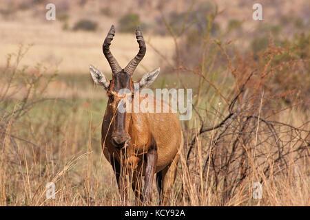 Tsessebe standing in the Pilanesberg National Park, South Africa - Stock Photo