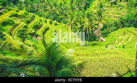 Amazing tegalalang Rice Terrace field covered by beautiful palm trees, Ubud, Bali, Indonesia - Stock Photo