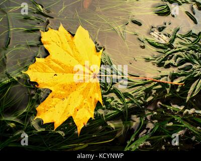 Fallen maple leaf in green algae. Rotten yellow orange dotted maple leaf in cold water of rapids. Colorful autumn - Stock Photo