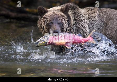 Grizzly Bear (Ursus arctos horribilis), secind year cub in water of salmon stream  feeding on Sockeye Salmon (oncorhynchus nerka), Fall, Autumn, Central British Columbia, Canada Stock Photo