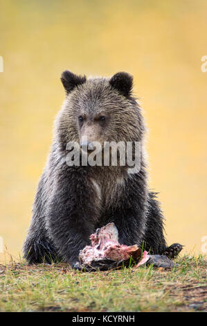 Grizzly Bear (Ursus Arctos Horribilis), COY (Cub-of-the-Year), first year cub, Fall, Autumn colours in background, - Stock Photo