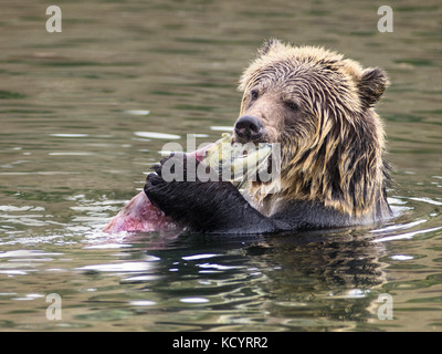 Grizzly Bear (Ursus arctos horribilis), Sub-Adult, in water of salmon stream  feeding on Sockeye Salmon (oncorhynchus nerka), Central British Columbia, Canada Stock Photo