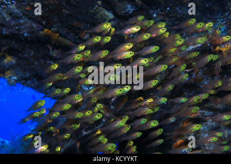 Pigmy sweeper fish (Parapriacanthus ransonneti) underwater in the indian ocean - Stock Photo
