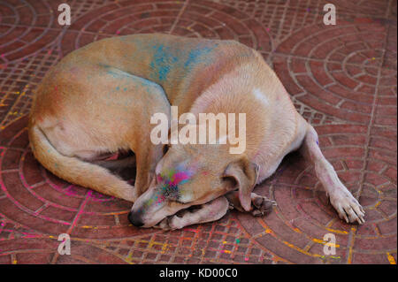 dog sleeping on sidewalk during Holi Festival, Panjim or Panaji, Goa, India - Stock Photo