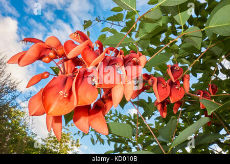 Beautiful red color flowers bloom in autumn of the Cockspur coral tree, Erythrina crista-galli (Argentina National - Stock Photo