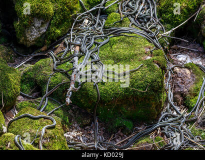 Red-sided Garter Snakes emerging from wintering den during annual mating ritual, Narcisse Snake Dens, Narcisse, - Stock Photo