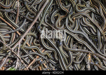Red-sided Garter Snakes gathered in annual mating ritual at the Narcisse Snake Dens, Narcisse, Manitoba, Canada. - Stock Photo