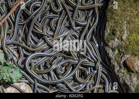 Red-sided Garter Snakes (Thamnophis sirtalis parietalis) gathered in annual mating ritual at the Narcisse Snake - Stock Photo