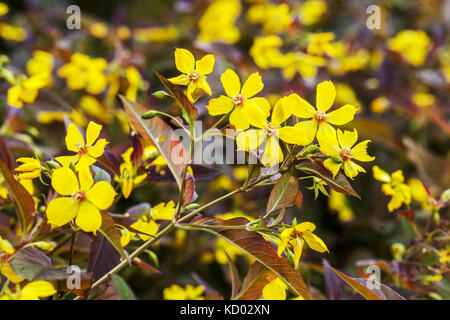 Lysimachia ciliata ' Firecracker ' yellow flowering - Stock Photo