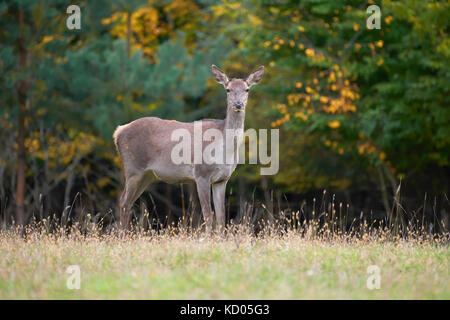 Female Red deer stag in the natural environment - Stock Photo