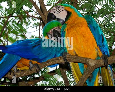 Blue and yellow macaws (Ara ararauna) sitting in a tree, pair grooming, Matto Grosso do Sul, Brazil - Stock Photo