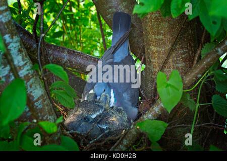 Wood pigeon (Columba palumbus) feeding chicks on the nest - Stock Photo