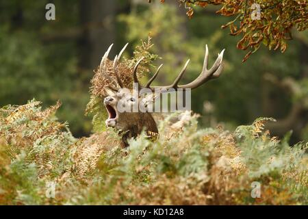 Richmond park, London. 9th Oct 2017. UK weather. A Red deer stag bellows during the annual rut in Richmond park, - Stock Photo