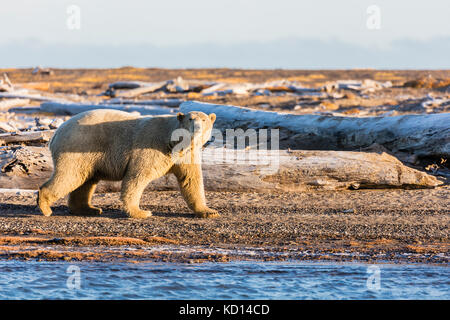 Polar Bear (Ursus maritimus) walking on barrier island along Beaufort Sea  in Kaktovik, Alaska. Autumn. Morning. - Stock Photo