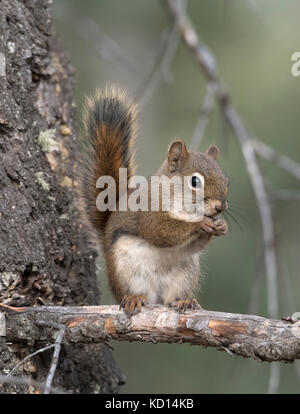 Red Squirrel sitting on branch looking at viewer. (Tamiasciurus hudsonicus).  Alberta, Canada.