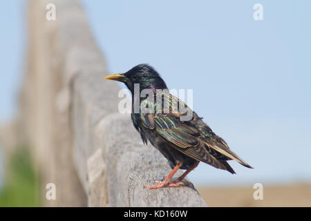 Common Starling or European Starling (Sturnus vulgaris) Perching on a fence - Stock Photo