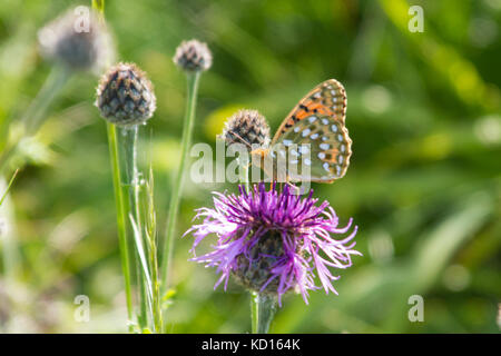 Male Dark Green Fritillary perching on a flower - Stock Photo