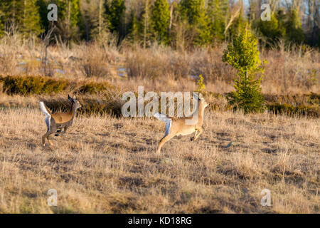 White-tailed Deer (Odocoileus virginianus) flagging, Barrie Island, Manitoulin Island, Ontario, Canada - Stock Photo