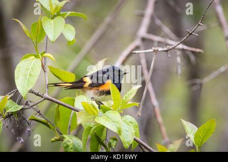 Male American Redstart (Setophaga ruticilla), Prince Edward Point National Wildlife Area, Ontario, Canada - Stock Photo