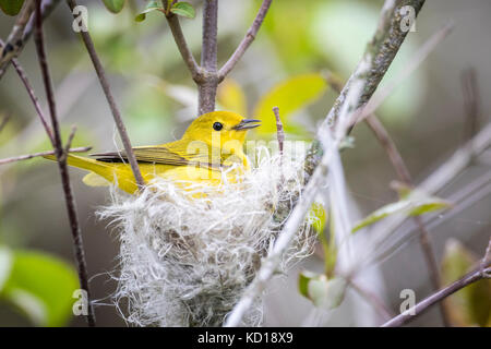 Female Yellow Warbler (Setophaga petechia) building a nest of fluffy plant fibres and spider webs, Prince Edward - Stock Photo