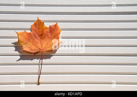 photography image of bright color autumn maple leaf in red orange yellow on sunlit white wood background taken on - Stock Photo
