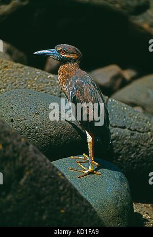 Galapagos Islands. Wildlife. Juvenile Yellow-crowned Night Heron. - Stock Photo