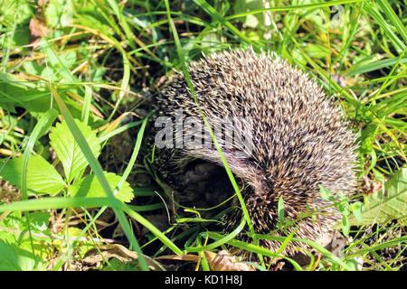 Sleeping on the green grass hedgehog turned and showed his nose. - Stock Photo
