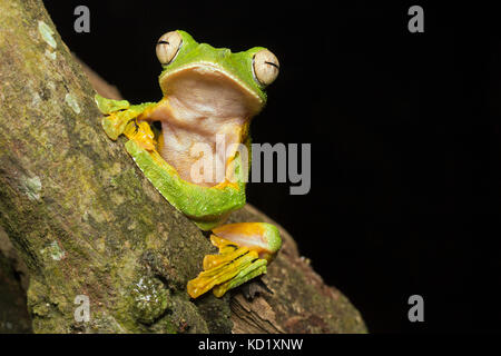 Wallace Flying Frog - Stock Photo